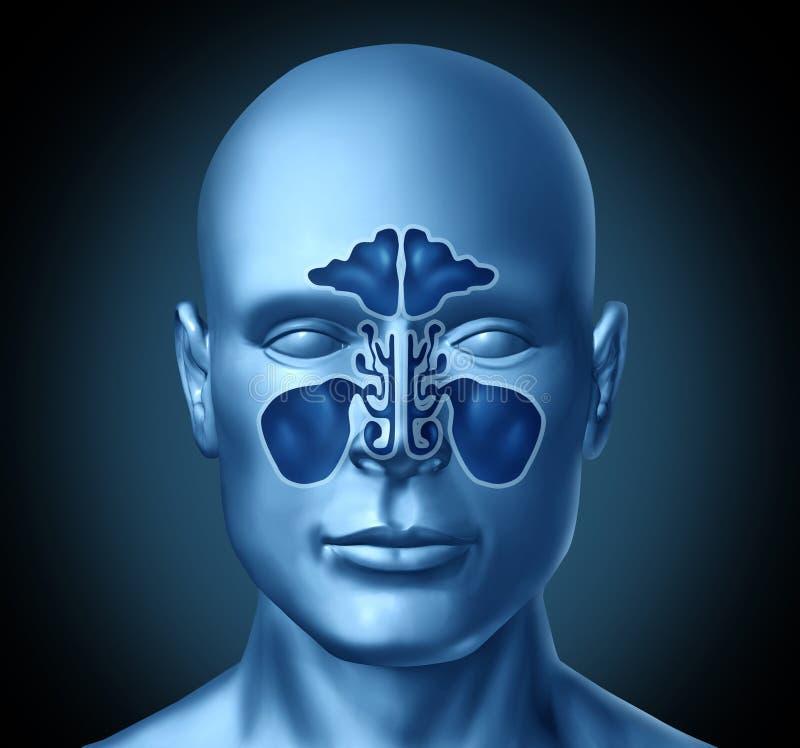 zagłębienia sinus kierowniczy ludzki royalty ilustracja