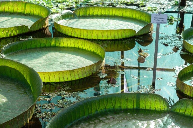 Zagabria, giardino botanico, la più grande foglia della ninfea nel mondo immagini stock