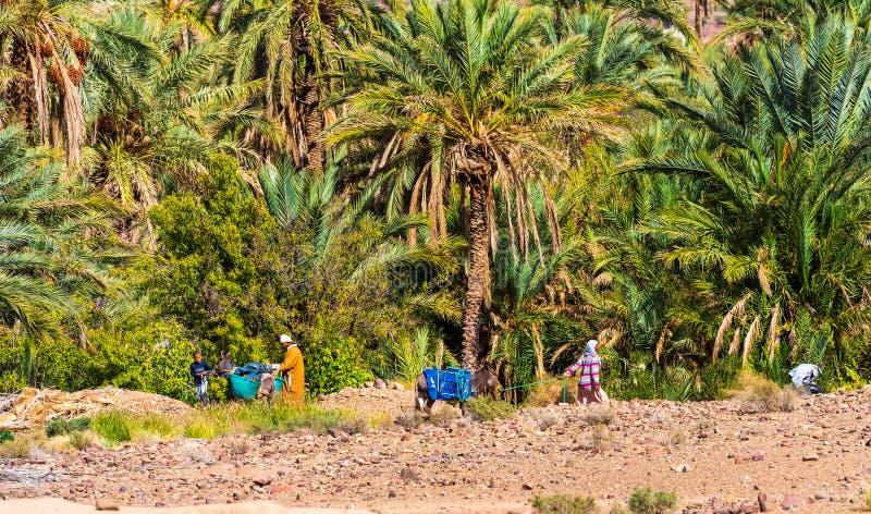 Zagora, Marocko - 12 november 2019: Människor och åsna i Draa Valley oasis royaltyfri bild