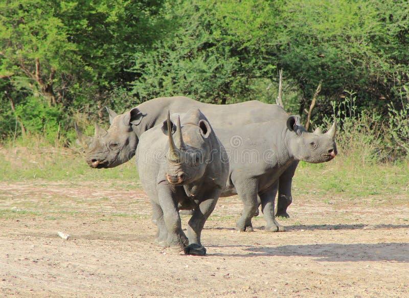 Zagrażająca Afrykańska czarna nosorożec - forteca fotografia stock
