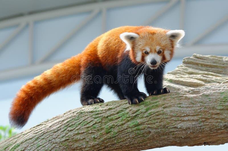 Zagrażająca czerwona panda na gałąź zdjęcia stock