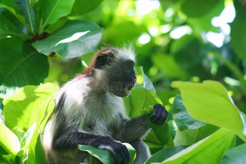 zagrażająca młoda czerwona colobus małpa Piliocolobus, Procolobus kirkii je liść w drzewach zdjęcie royalty free