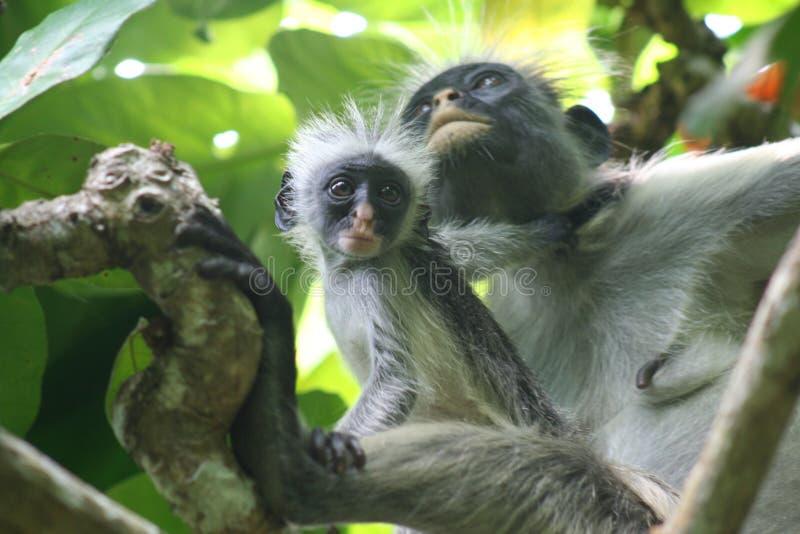 Zagrażający małpi czerwony colobus Piliocolobus, Procolobus kirkii matka, siedzi wpólnie w drzewach Jozani las, zdjęcie stock