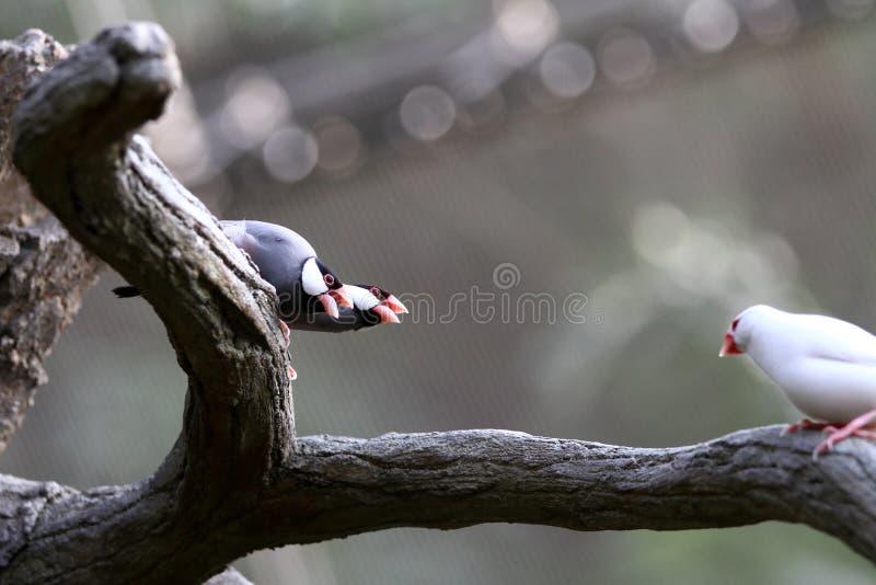 Zagrażający ptaki --- java wróbel  obraz royalty free