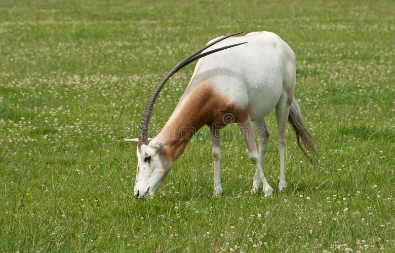 zagrażający rogaci oryx bułata gatunki zdjęcie royalty free