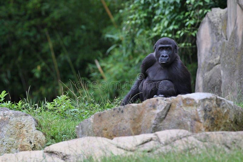 Zagrażający wschodni goryl na zielonym obszarze trawiastym fotografia stock