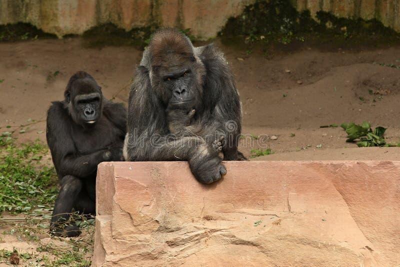 Zagrażający wschodni goryl na zielonym obszarze trawiastym zdjęcia stock