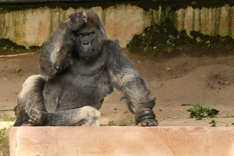 Zagrażający wschodni goryl na zielonym obszarze trawiastym obrazy royalty free