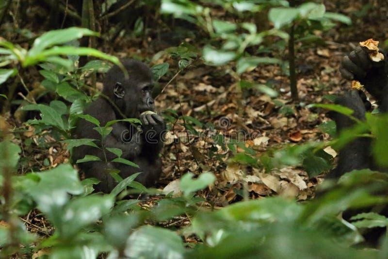 Zagrażający wschodni goryl w pięknie afrykańska dżungla zdjęcia stock