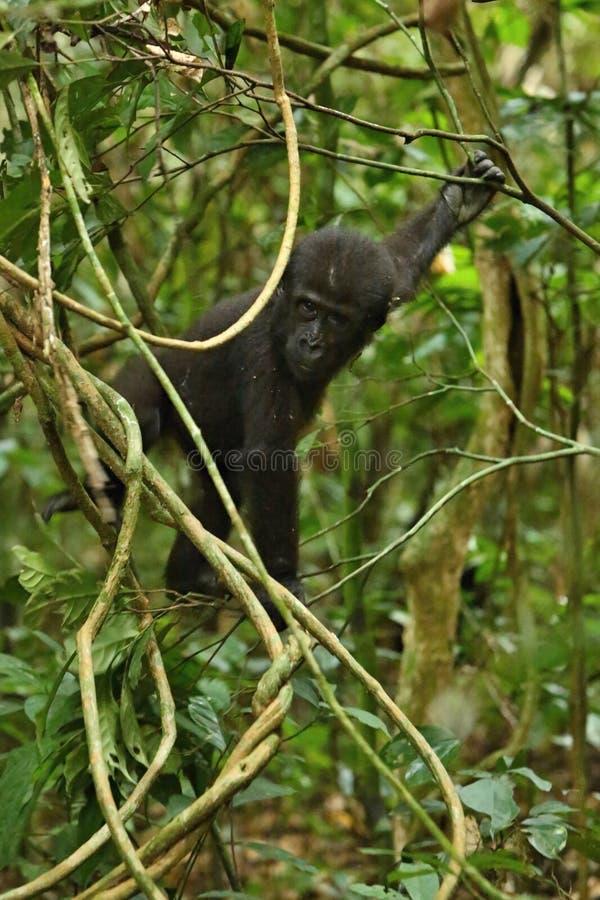 Zagrażający wschodni goryl w pięknie afrykańska dżungla zdjęcie royalty free