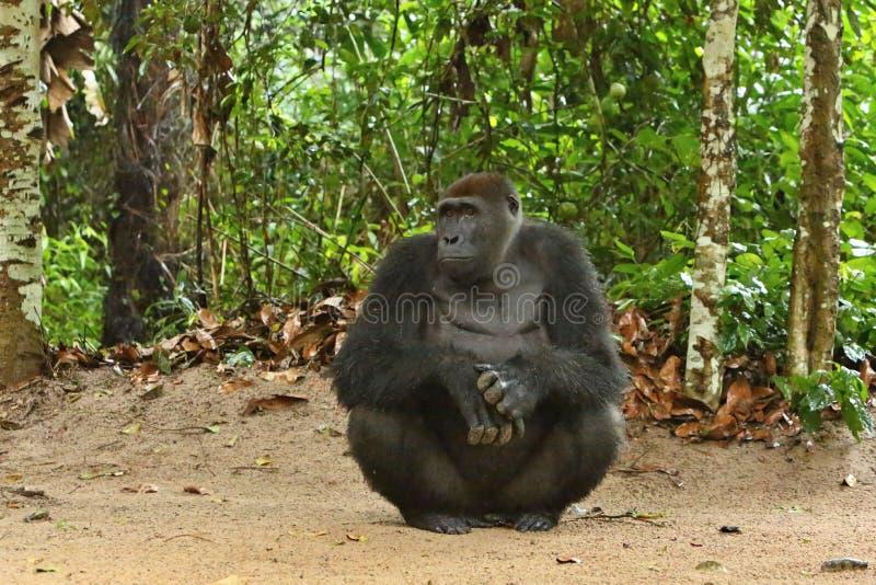 Zagrażający wschodni goryl w pięknie afrykańska dżungla obrazy stock