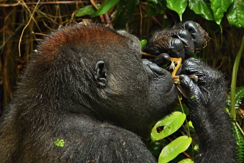 Zagrażający wschodni goryl w pięknie afrykańska dżungla fotografia royalty free