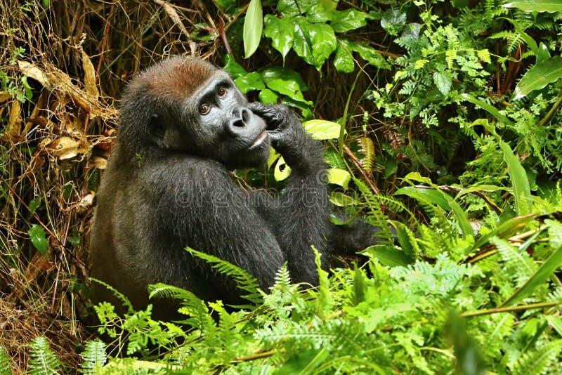 Zagrażający wschodni goryl w pięknie afrykańska dżungla zdjęcie stock