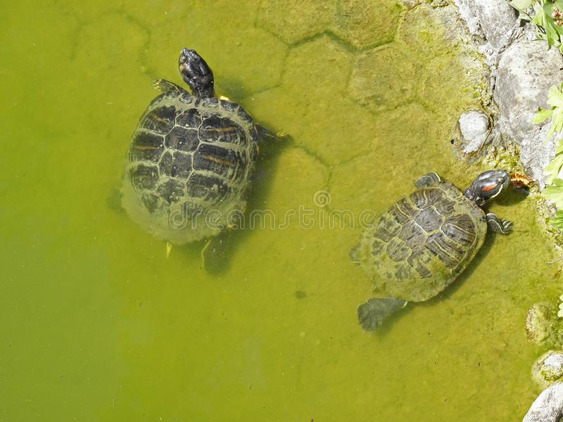 Zagreb Botanical garden by summer,turtles in swamp royalty free stock images