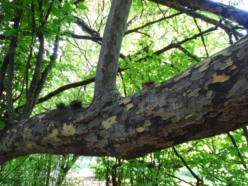 Zagreb botanisk trädgård vid sommar, Parrotiapersica royaltyfri fotografi