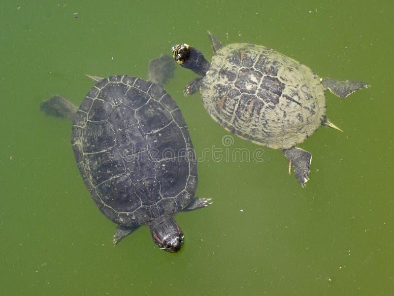 Zagreb botanisk trädgård vid sommar, sköldpaddor i träsk royaltyfria bilder