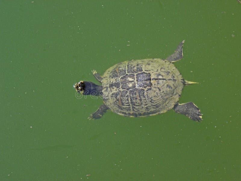 Zagreb botanisk trädgård vid sommar, sköldpaddor i träsk arkivbilder