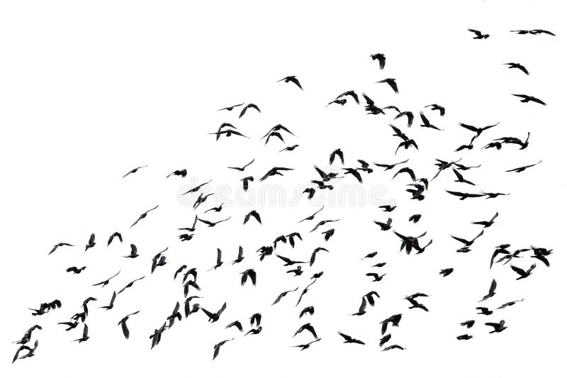 Zahlreiche Menge des schwarzen Vogelfliegens lokalisiert auf dem weißen backg lizenzfreie stockfotos
