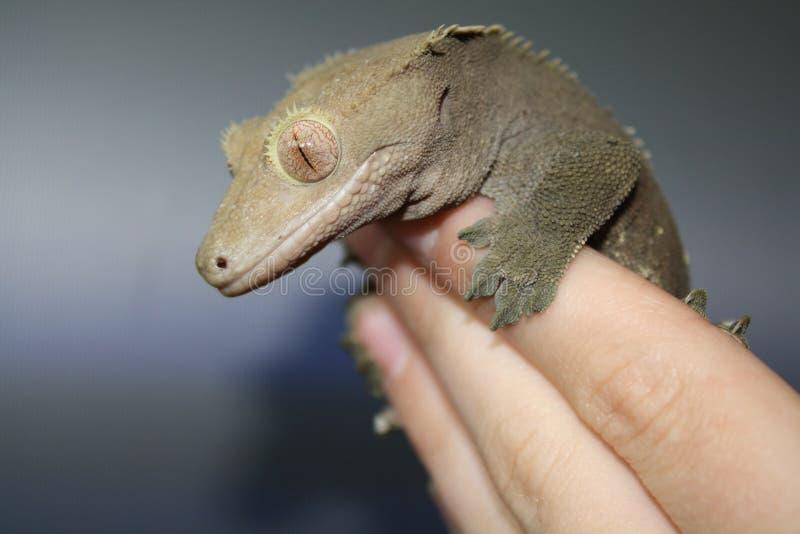 Zahmer mit Haube Gecko lizenzfreie stockfotos