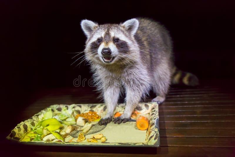 Zahmer Waschbär mit Nahrung in der dunklen Nacht lizenzfreies stockbild