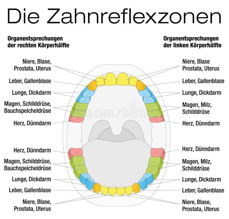 Zahn-Reflexzonenmassage-Analogie-Diagramm-Deutscher Vektor Abbildung ...
