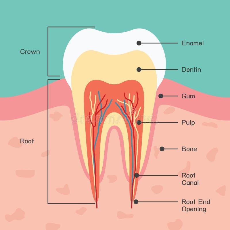 Zahnanatomie lizenzfreie abbildung