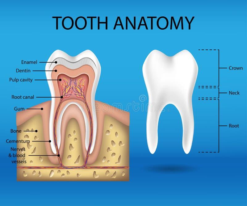 Zahnanatomie infographics Realistisches weißes Zahn-Modell Stillleben des grünen Apfels, der frischen Minze und der hellen Kerze  stock abbildung