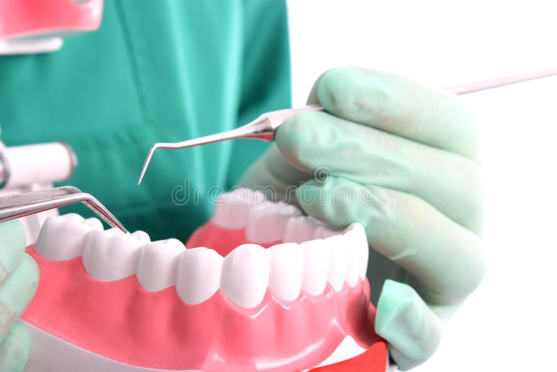 Zahnarzt zeigt ein Baumuster für gesunde Zähne lizenzfreie stockfotos