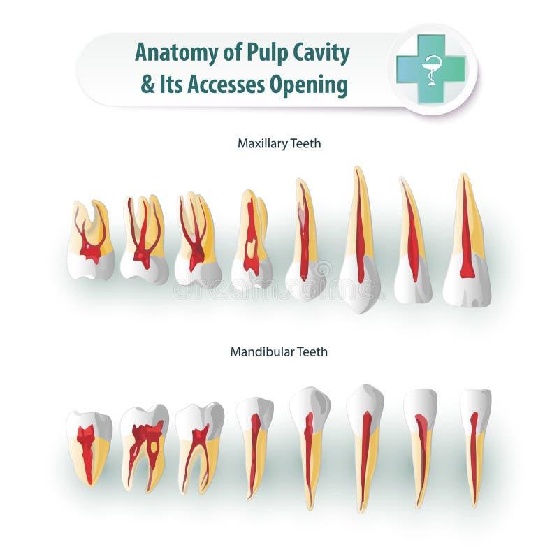 Zahnmedizinische Anatomie lizenzfreie abbildung