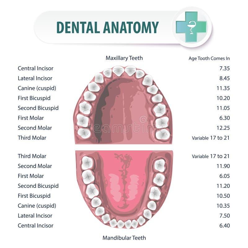 Zahnmedizinische Anatomie 2 Vektor Abbildung - Illustration von ...