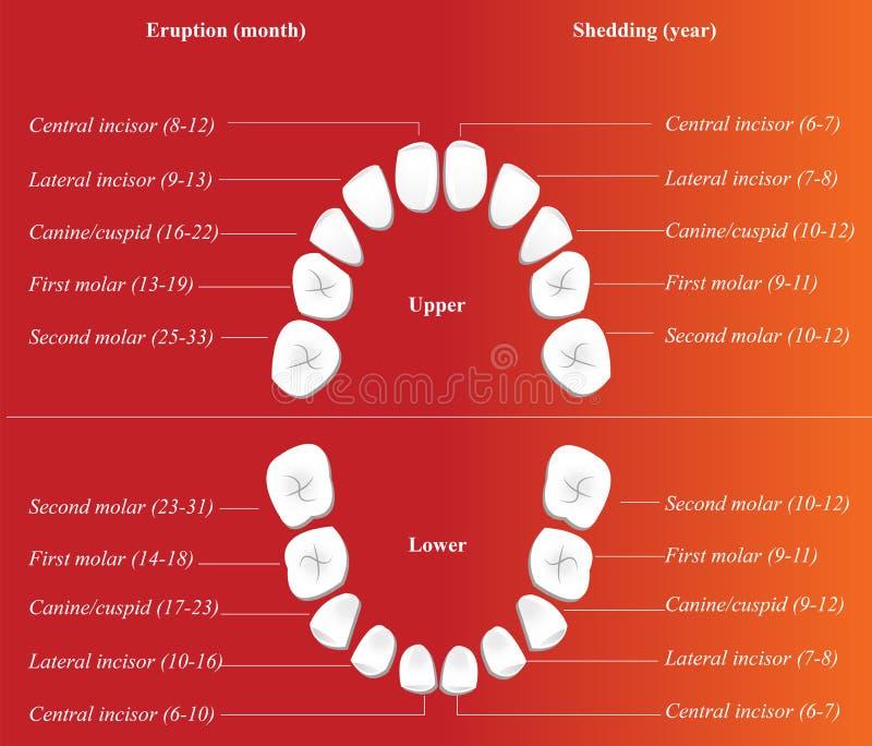 Zahnmedizinisches Diagramm der Kinder vektor abbildung