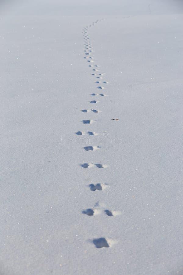 Zając ślada na czystym śnieżnym polu Zimy tła minimalista zdjęcia stock