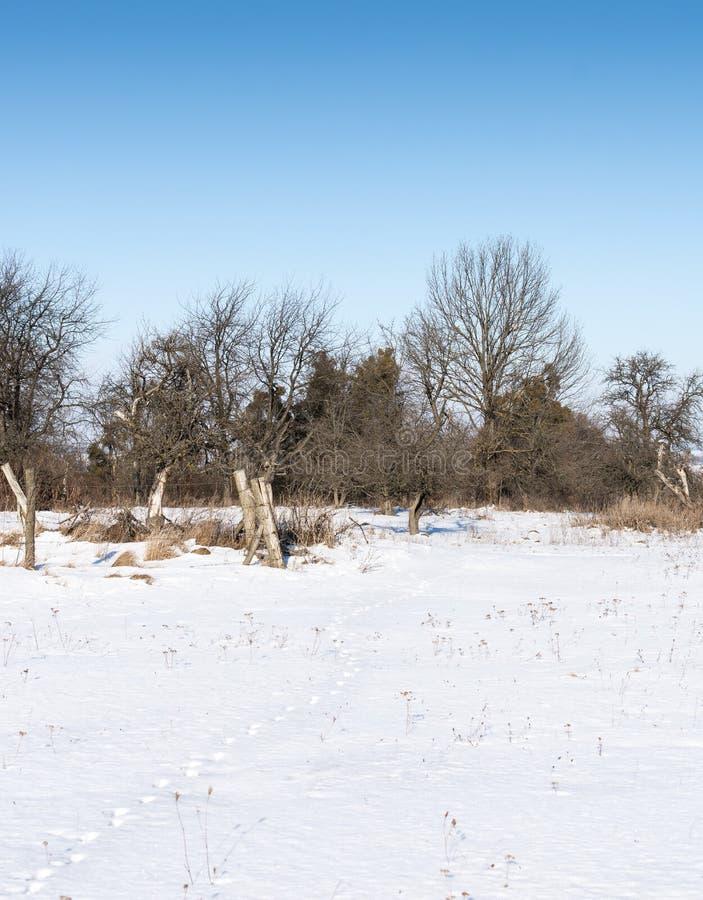 Zając ślada w śniegu fotografia royalty free