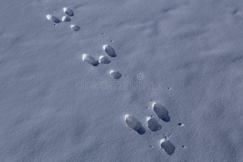 Zając ślada w śniegu obraz royalty free