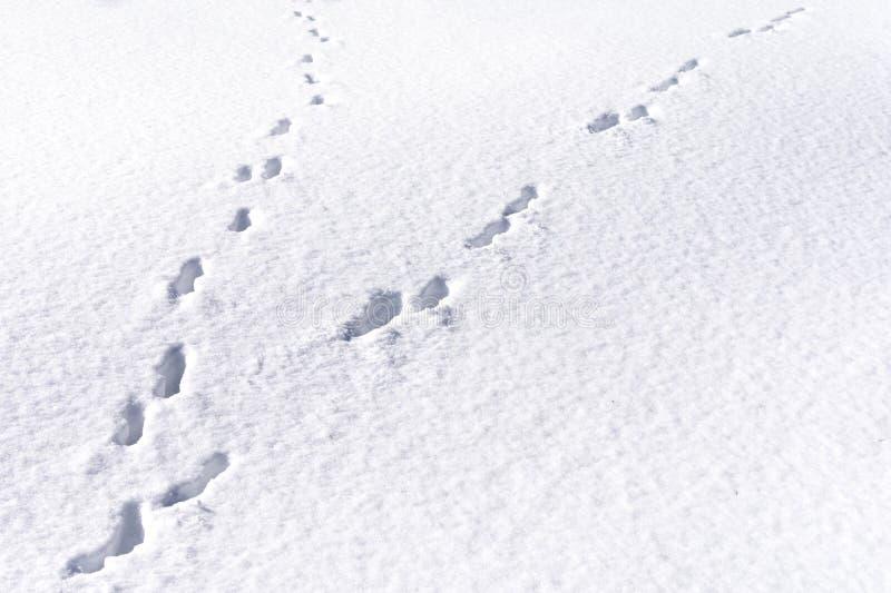 Zajęcza stopa tropi w śnieżnym lasowym zimy tle fotografia stock