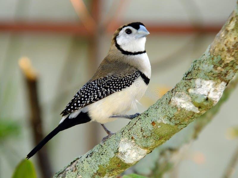Zakazujący Finch Taeniopygia bichenovii fotografia stock