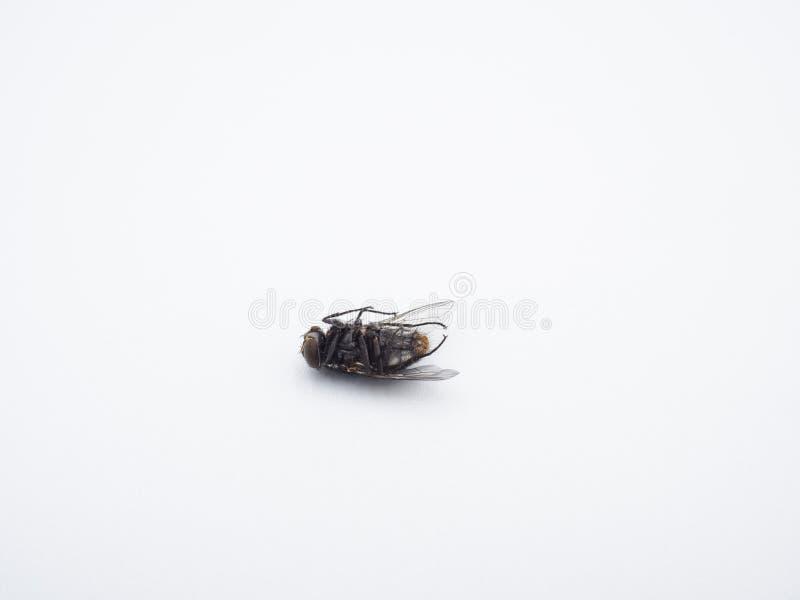 Zakończenie - w górę nieboszczyka housefly pospolitego insekta na białym tle fotografia stock