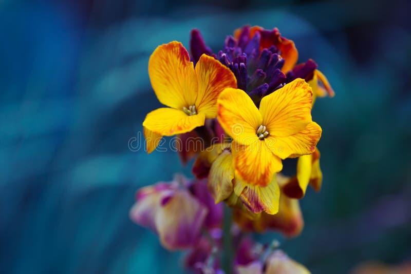 Zakończenia żółty wallflower na zmroku - błękitny tło fotografia stock