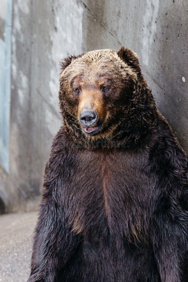 Zakończenia Brown up Podnoszący niedźwiedzie z betonowym tłem przy Noboribetsu niedźwiedzia parkiem w hokkaidu, Japonia zdjęcie stock