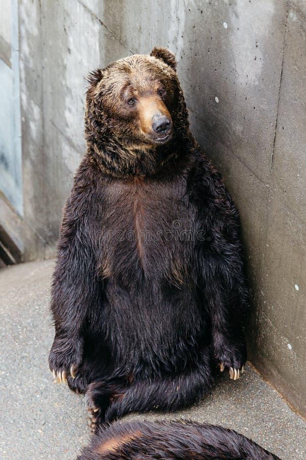 Zakończenia Brown up Podnoszący niedźwiedzie z betonowym tłem przy Noboribetsu niedźwiedzia parkiem w hokkaidu, Japonia zdjęcia royalty free