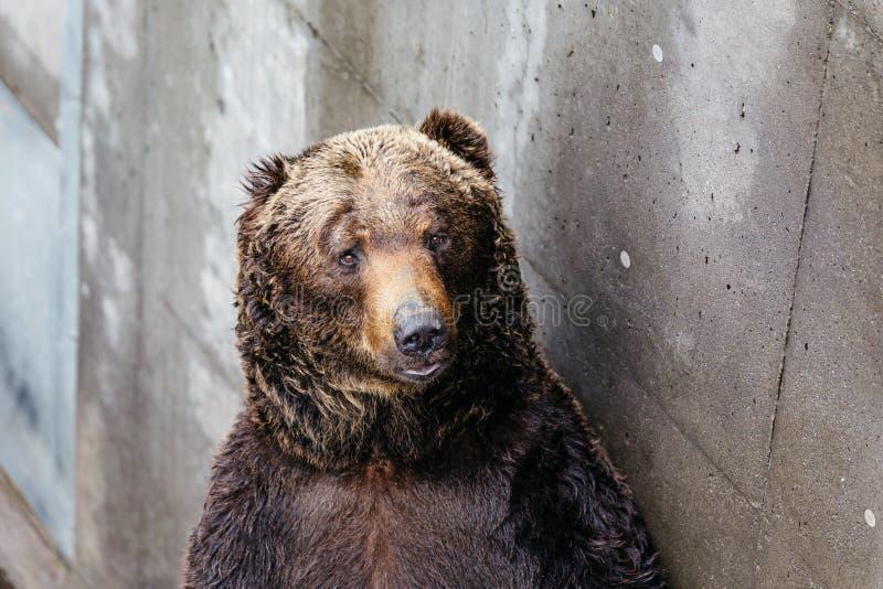 Zakończenia Brown up Podnoszący niedźwiedzie z betonowym tłem przy Noboribetsu niedźwiedzia parkiem w hokkaidu, Japonia obraz royalty free