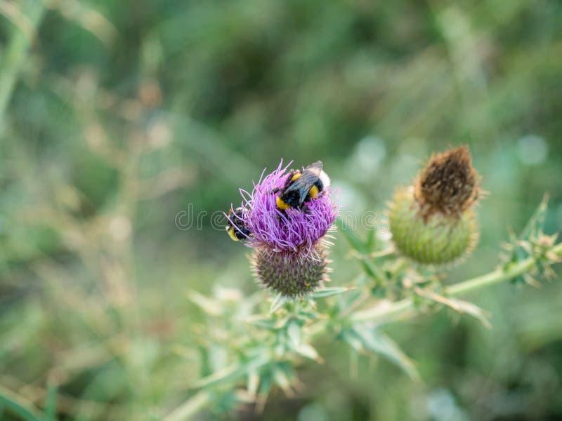 Zakończenia bumblebee na osetu kwiacie zdjęcie royalty free