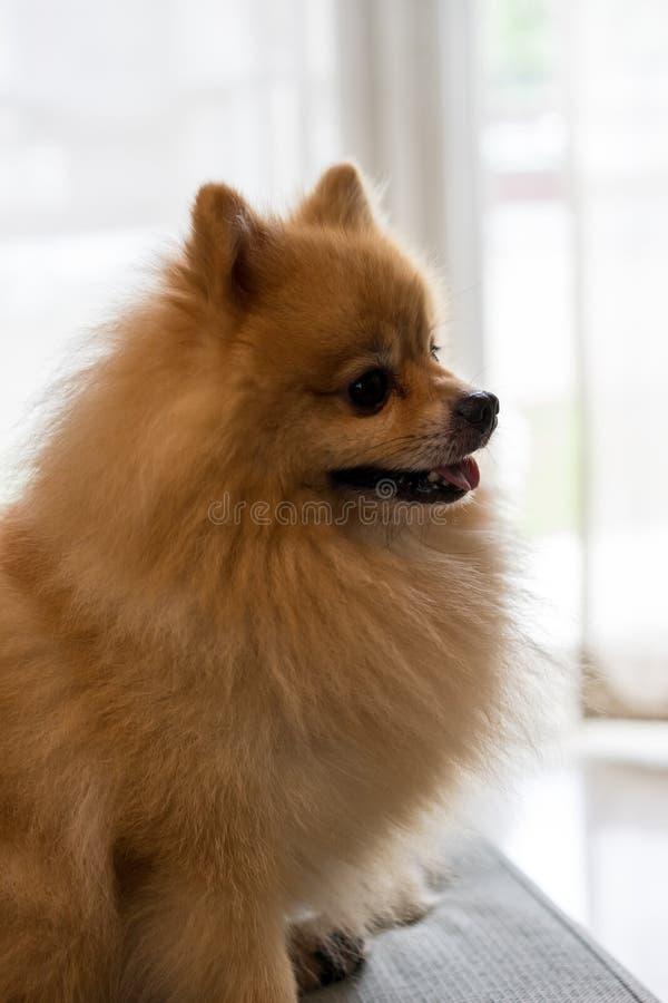 Zakończenia psi pomeranian spitz ono uśmiecha się, Selekcyjna ostrość obraz royalty free