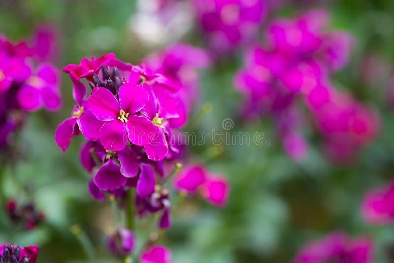 Zakończenia purpurowy wallflower w ogródzie obrazy stock