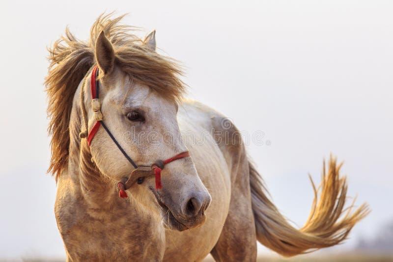 Zakończenia up głowy strzał biały koń z pięknym obręcza światłem znowu fotografia stock