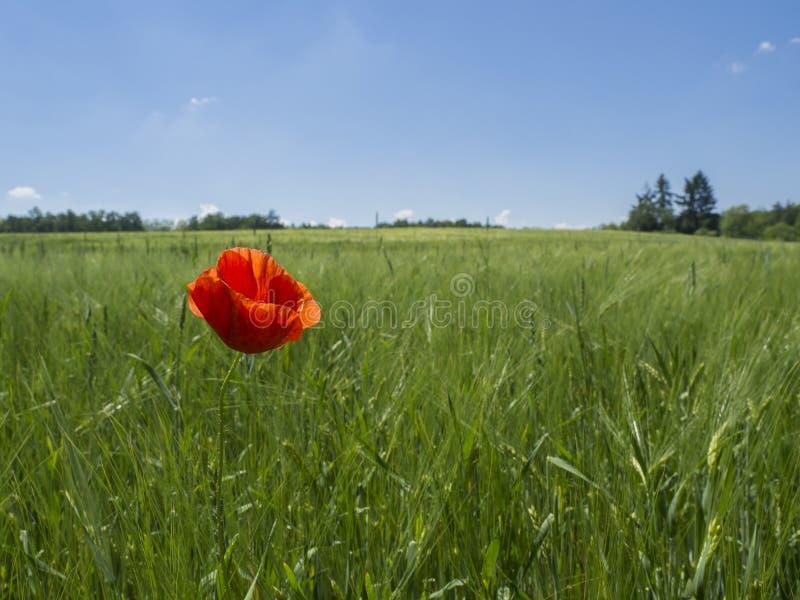 Zakończenia up kukurydzanego maczka pojedyncza czerwona świrzepa w zieleni pola łące obraz royalty free