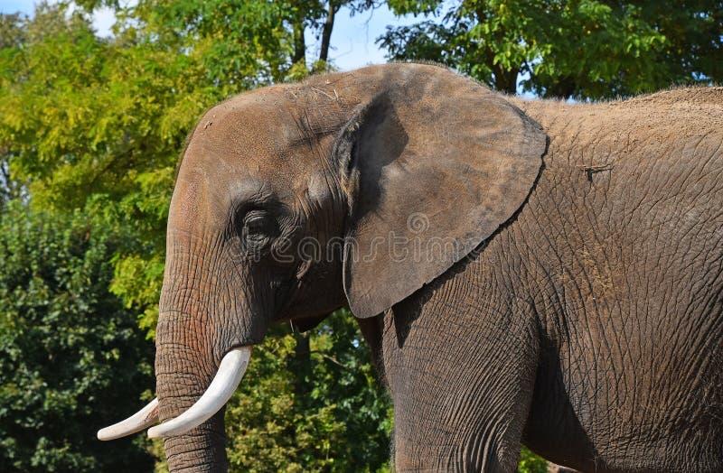 Zakończenia up strony profilowy portret Afrykański słoń zdjęcia royalty free
