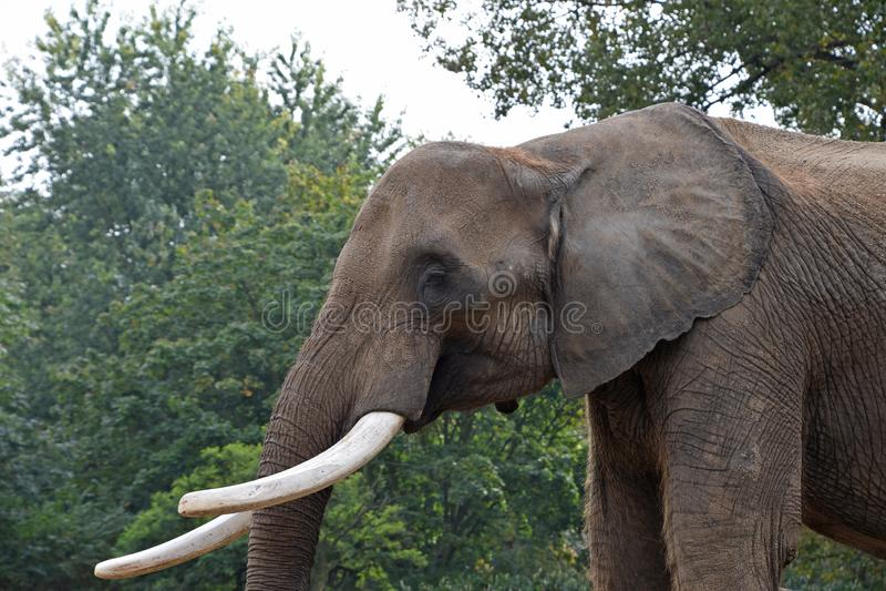 Zakończenia up strony profilowy portret Afrykański słoń zdjęcie stock