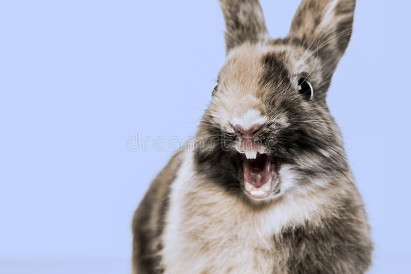 Zakończenie śmieszny królik obrazy royalty free