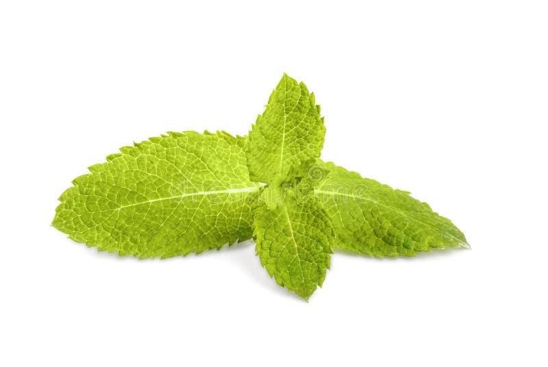 Zakończenie świezi nowi liście, odosobniony na białym tle Spearmint, miętówka lecznicza roślina Słodka officinalis mennica obrazy stock